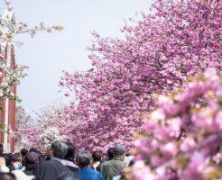 大阪造幣局の桜の通り抜け2017の見頃 期間 混雑 アクセス 屋台などをご紹介♪