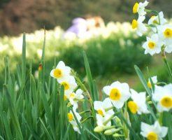 大阪でたったひとつの小さな村 千早赤阪村の水仙の花を訪ねて