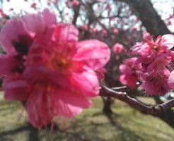 2018年 和歌山南部(みなべ)梅林の開花状況と梅まつり情報!