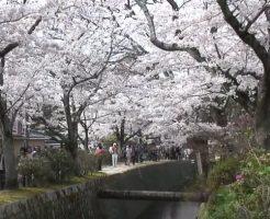 京都岡崎エリアの花見 イベント 穴場スポット情報
