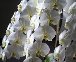 胡蝶蘭がお祝いの花として選ばれるこれだけの理由!