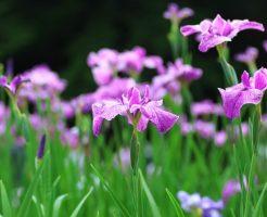 堺市 白鷺公園の花菖蒲園!開花 見ごろ時期 駐車場 アクセス情報は?