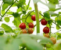 初心者でも失敗しにくいベランダ菜園にピッタリの夏野菜と育て方は?