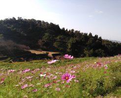 千早赤阪村の棚田と秋風に揺れるコスモス畑に小さい秋を見つけたよ♪