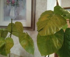 ウンベラータが黄色く変色し枯れ落ちる原因と対策は?