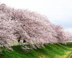 鮎河(うぐいがわ)千本桜の開花と見ごろ時期はいつ?屋台 ライトアップはある?