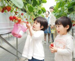 イチゴ狩りの楽しみ方やマナー!美味しいいちごの見分け方は?