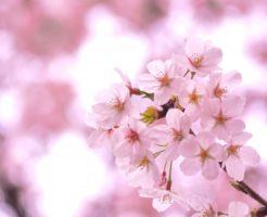 三井寺の桜の開花時期と見ごろ時期はいつ?屋台 ライトアップ 混雑状況は?