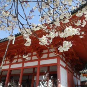 平安神宮の桜の開花と見ごろ時期はいつ?ライトアップやイベントはある?