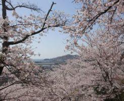 紀三井寺の桜の開花時期と見ごろ時期はいつ?屋台 ライトアップ 混雑状況は?