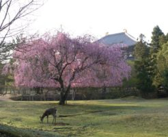奈良公園の桜の開花と見ごろ時期は?お弁当はどこで食べる? ライトアップや混雑状況は?