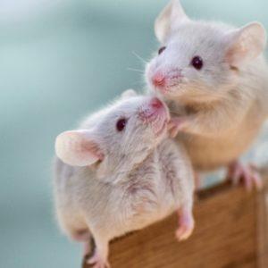 ネズミ(鼠)にまつわる故事・諺・慣用句を調べてみた!