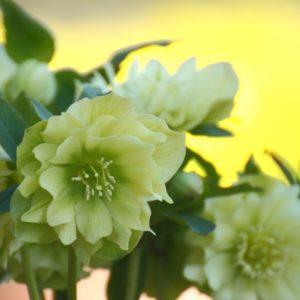 クリスマスローズの切り花が萎れる原因と長持ちさせる6つの方法!