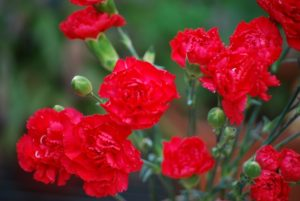 【母の日】カーネーションてどんな花?花名や花言葉の由来と色別花言葉を調べてみた!