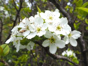 "<span class=""title"">梨ってどんな木?ナシの名前の由来と花期や花言葉は?</span>"