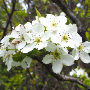 梨ってどんな木?ナシの名前の由来と花期や花言葉は?
