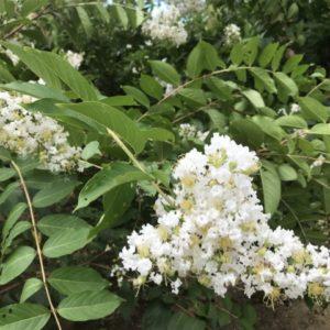 卯月(4月)に咲く卯の花ってどんな花?空木(ウツギ)の種類はある?花名の由来と花言葉は?